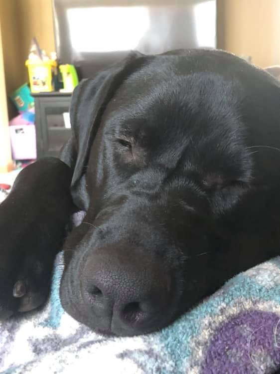 Sleeping Black Lab Puppy