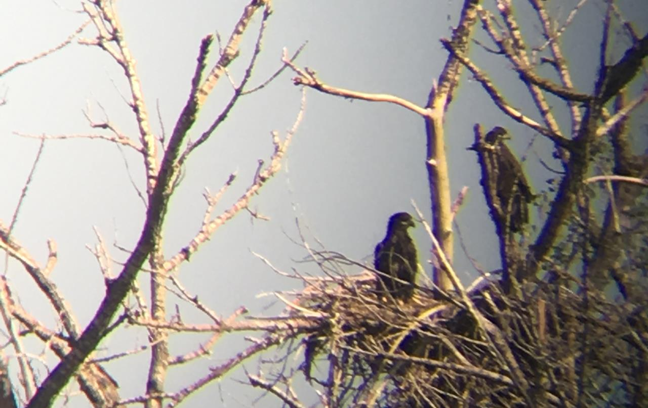 Two eaglets on nest with gray sky