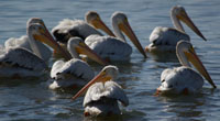 Group of pelicans on water at Sandstone Ranch
