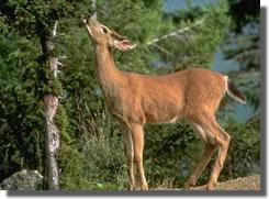 supply_deer